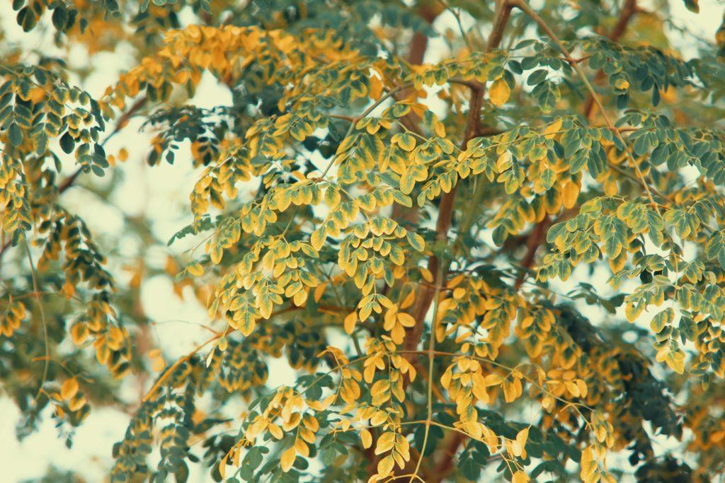 Moringa oleodajna